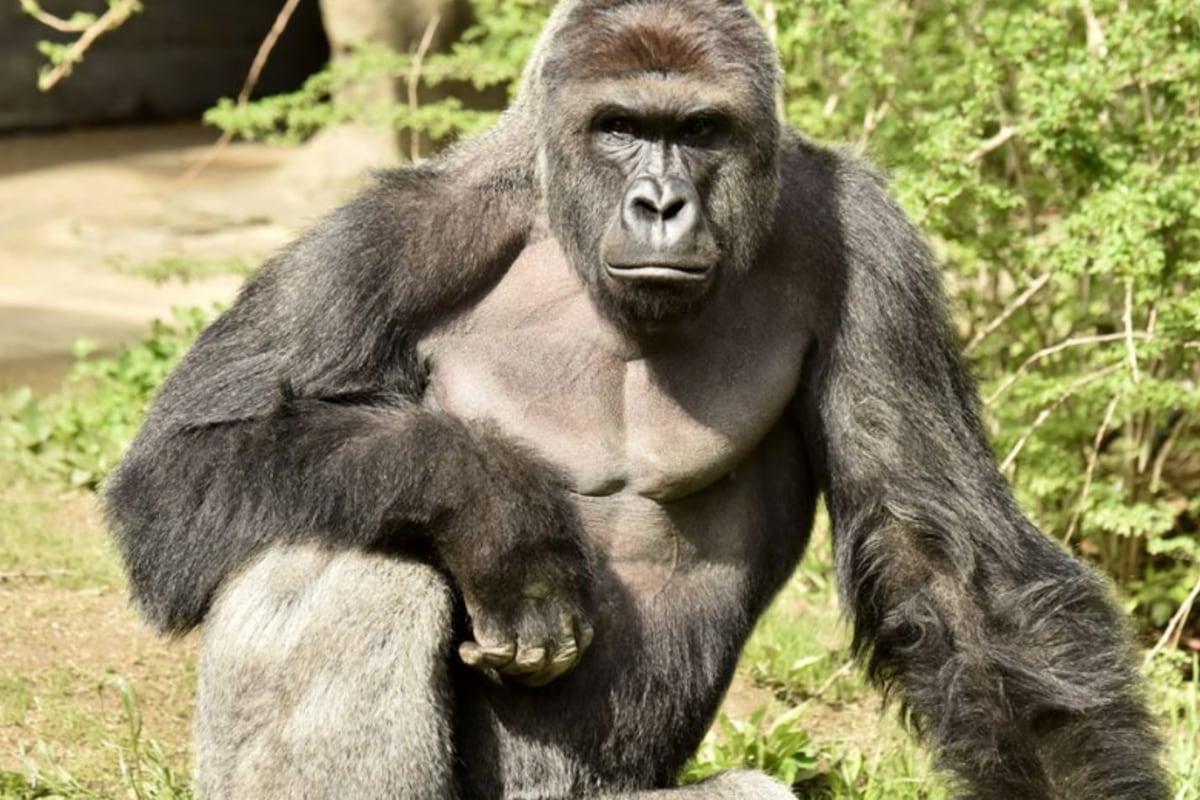 Смотреть пенис гориллы 12 фотография