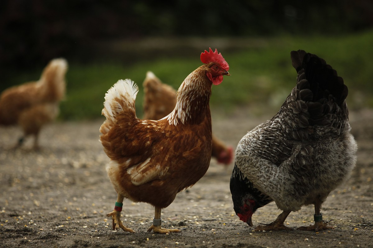 Why You Should Keep Chickens As Pets