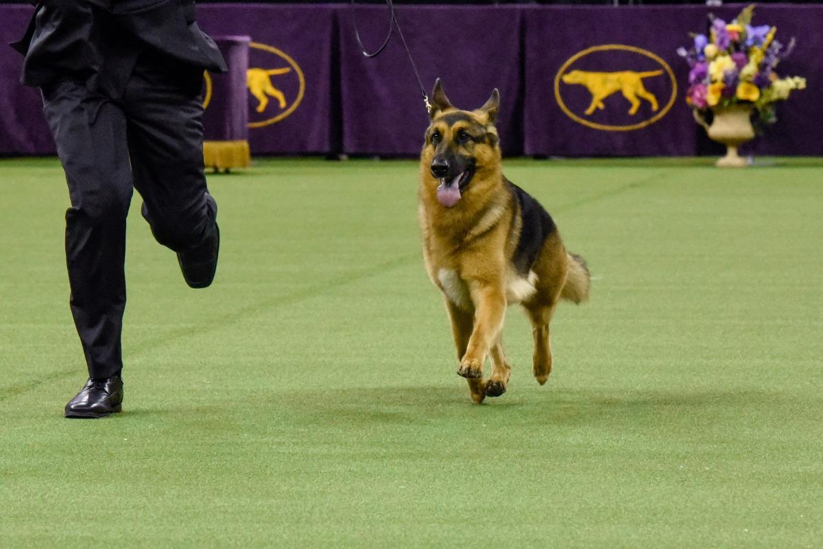 German Shepard Wins Dog Show