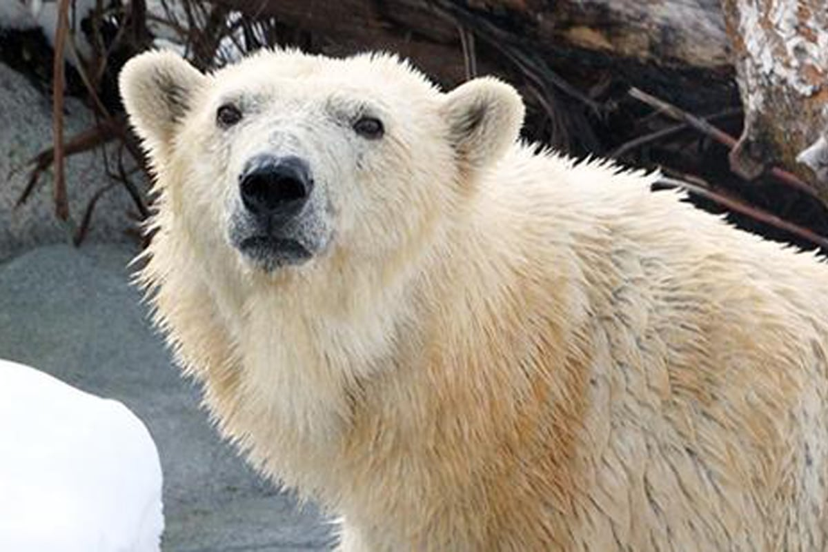 Rizzo, Utah Zoo Polar Bear, Euthanized After Kidney ...