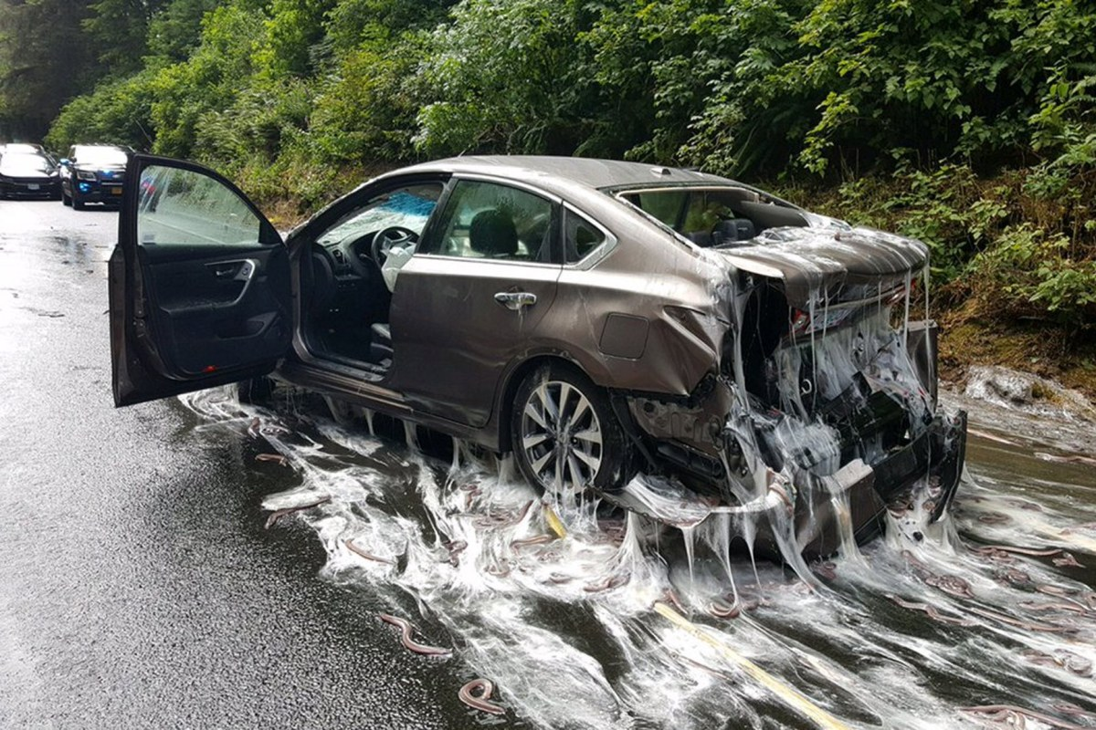 Huge eel spill slimes OR  highway, cars