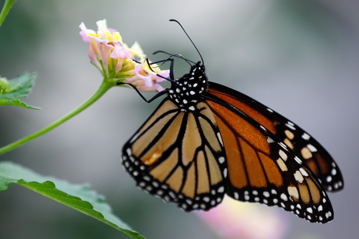 Border Wall push is causing a flap in the House and at butterfly center