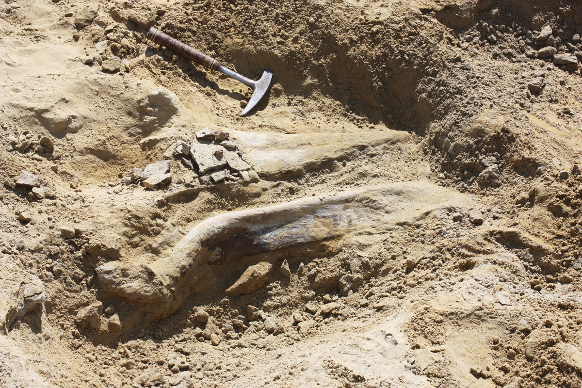 image a fossil of a triceratops dinosaur discovered by construction workers