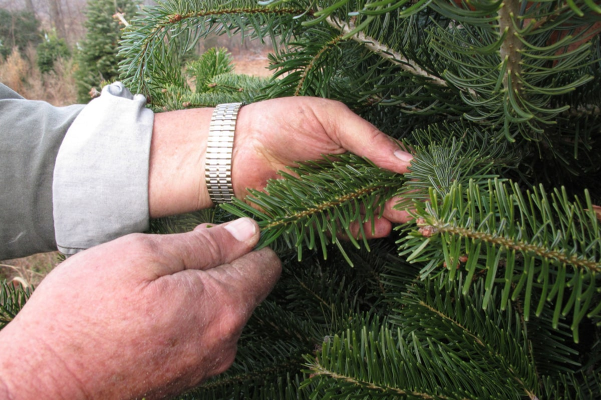 A national problem\': Root rot attacking Christmas trees - NBC News
