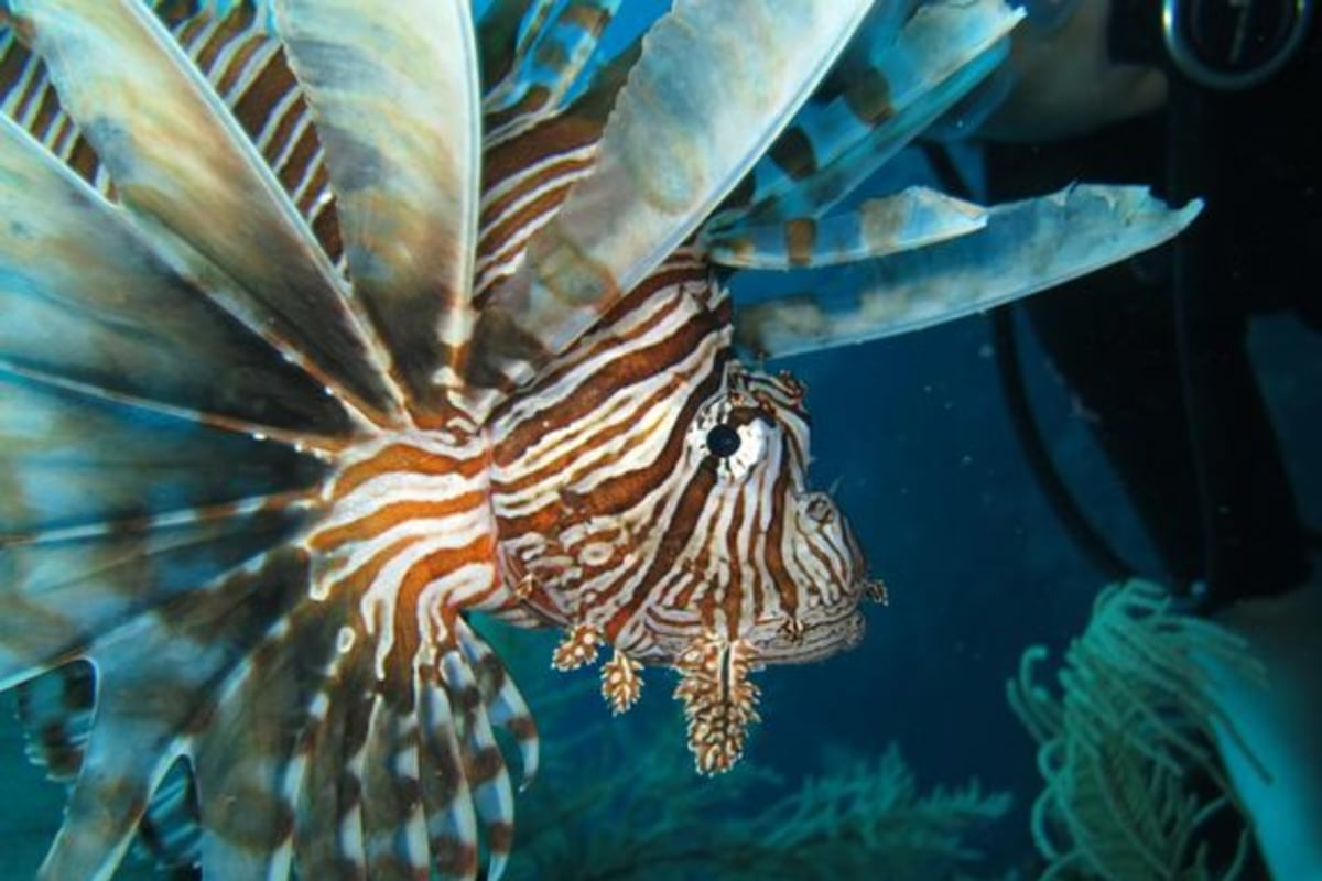 Even sharks are no match for invasive lionfish - NBC News