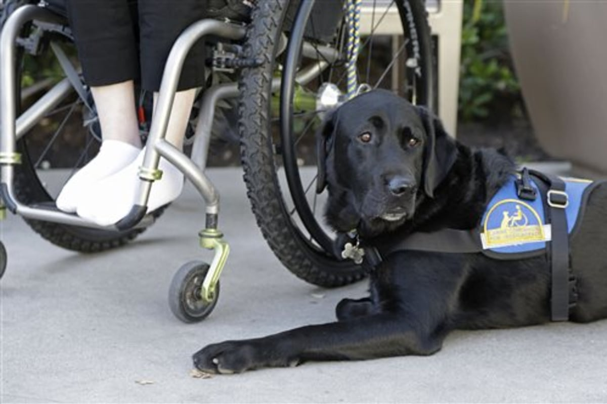 Fake service dogs a growing problem nbc news 1betcityfo Images