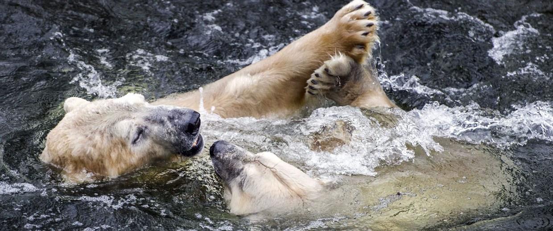Image: Polars bears reunited