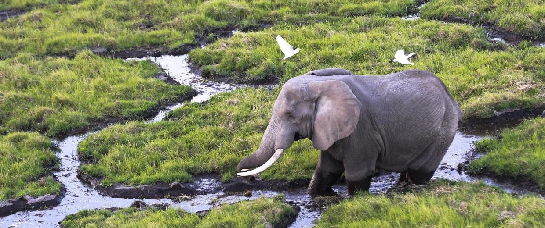 Image: An elephant walks in the marsh