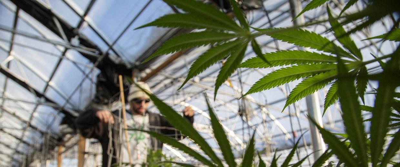 Image: Scenes of growing, clipping and tending in the marijuana growing facility in the River Rock Colorado marijuana dispensary in Denver, Colorado