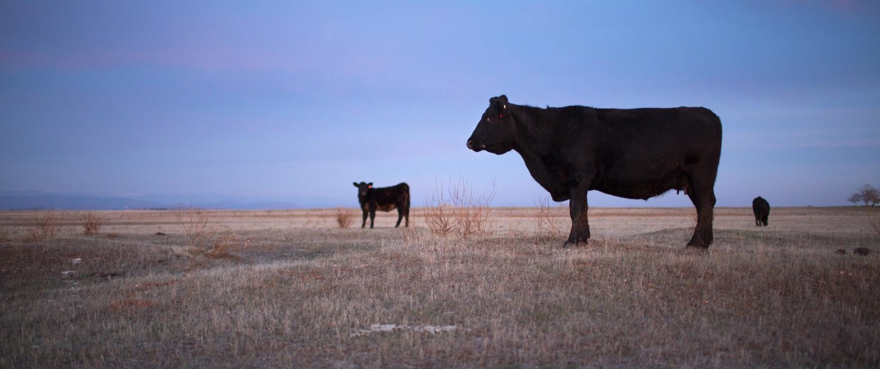 Image: Black Angus beef cattle stand in a field of dry range in the foothills of the Sierra Nevada range near Le Grand, Calif.