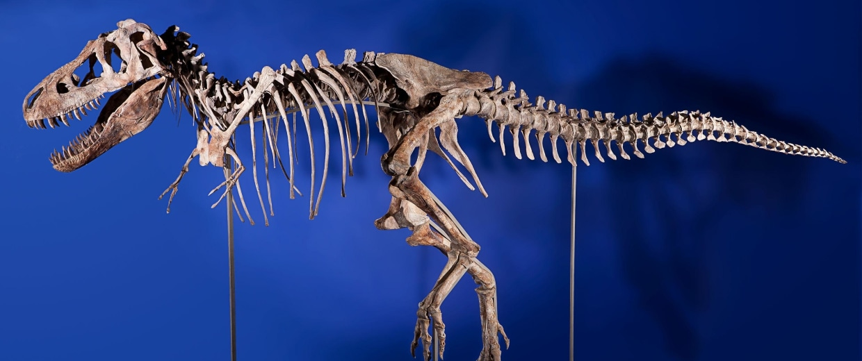 Image: Tyrannosaurus bataar skeleton is seen in this undated handout photo from Heritage Auctions in New York