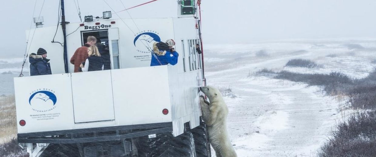"Image: ""Buggy love"": A polar bear checks out the Google Street View tundra buggy."