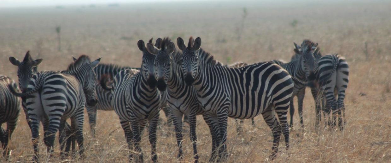 Image: Zebras