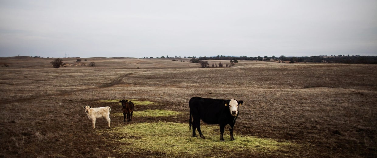 Image: File photo of cattle grazing on hay in a landscape that would normally be covered in green grass on the Van Vleck Ranch in Rancho Murieta.