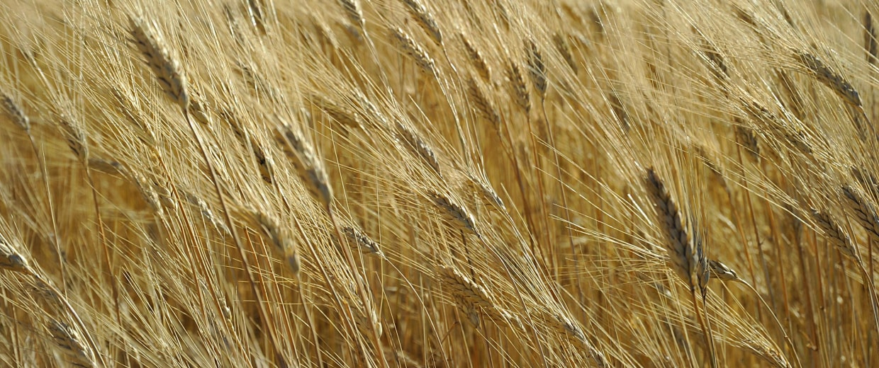 Image: Wheat ready for harvest on Sept. 29, 2010 near Tioga, North Dakota