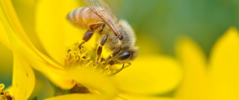 Image: Honeybee