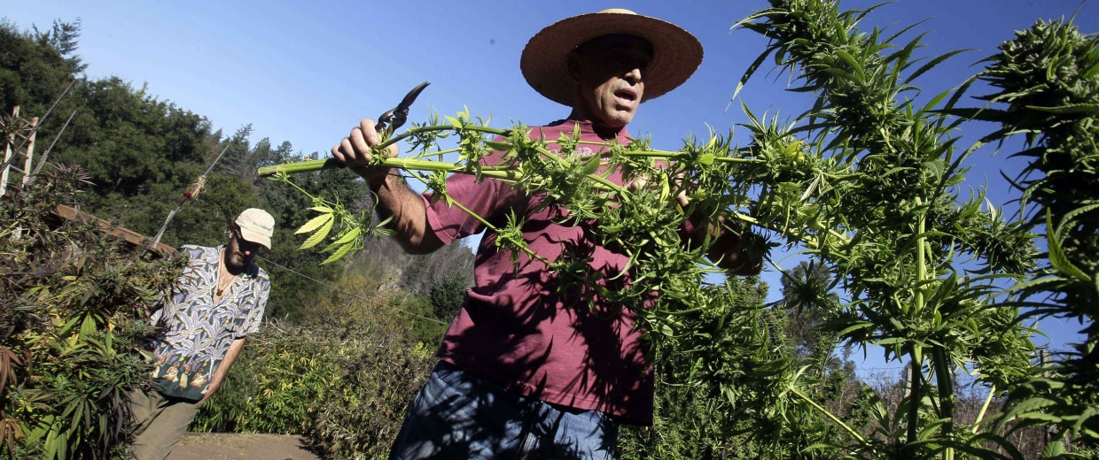 Image: Mike Corral cuts branches from a marijuana plant as he prepares a harvest in Davenport, Calif.