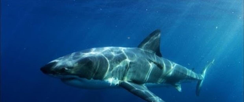 What Could Eat a Big Shark? A Bigger Shark, Not a 'Super ...