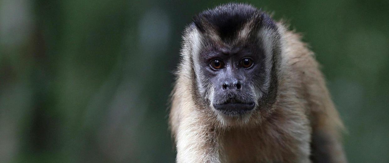 Image: A 'Prego' monkey in Brazil's Pantanal region