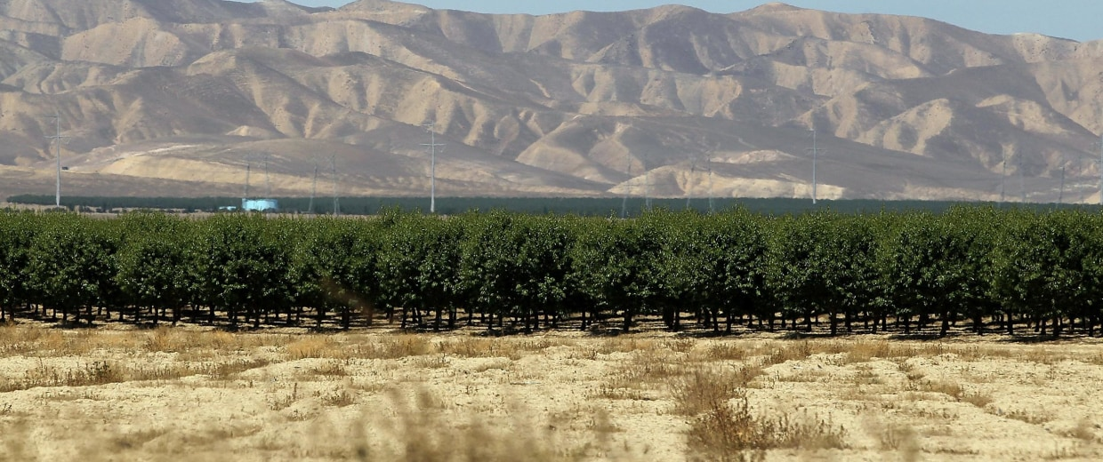 Image: A grove of almond trees sits at the base of dry and barren hills on April 29, 2014 near Firebaugh, California