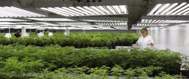 Marijuana plants guzzle water and are exacerbating California's severe drought.