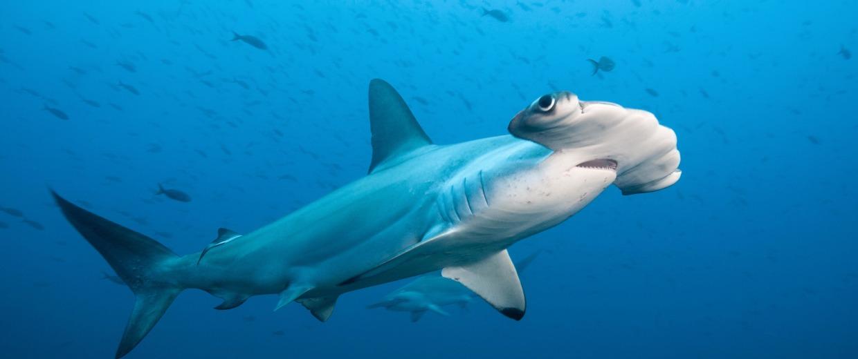 Scalloped Hammerhead Shark, Galapagos Islands.