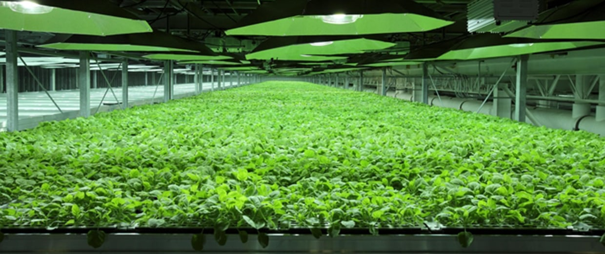 Image: Tobacco plants used to create the experimental treatment given to the two U.S. patients infected with Ebola at the KBP facilities in Kentucky.