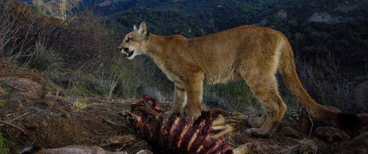 Image:  A remote camera captures a female mountain lion in the Santa Monica Mountains. It was with its two 10-month-old kittens feeding on a mule deer.