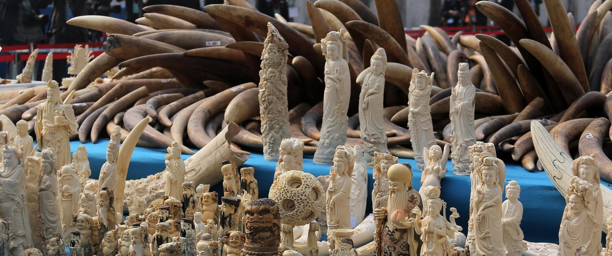 Image: Ivory is displayed before being crushed during a public event in Dongguan, south China's Guangdong province