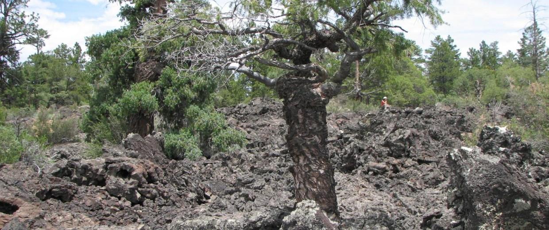 Image: Yoda the tree in 2010