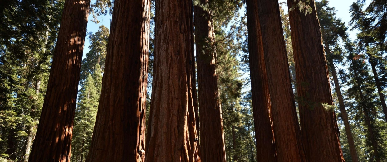 Image: People walk among giant Sequoia trees in Sequoia National Park
