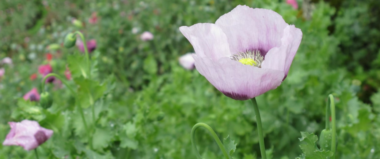 Image: Heroin Poppy
