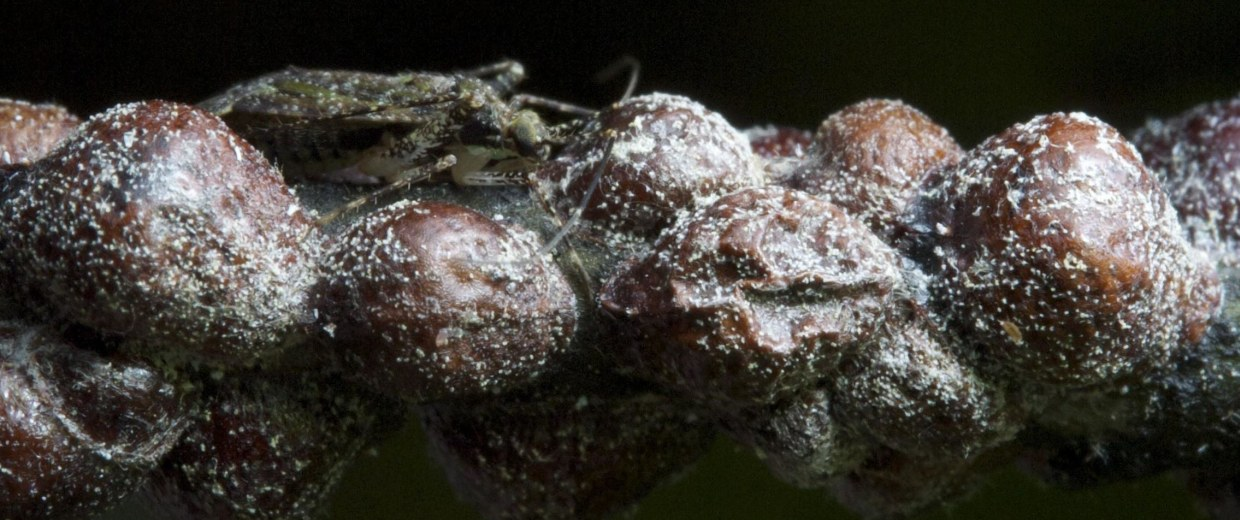 Image: A scale insect walks along a willow oak branch