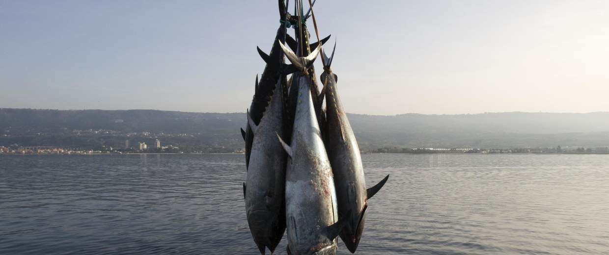 """The overfishing and increasing scarcity of Pacific bluefin tuna has created an opportunity for """"tuna ranchers."""""""