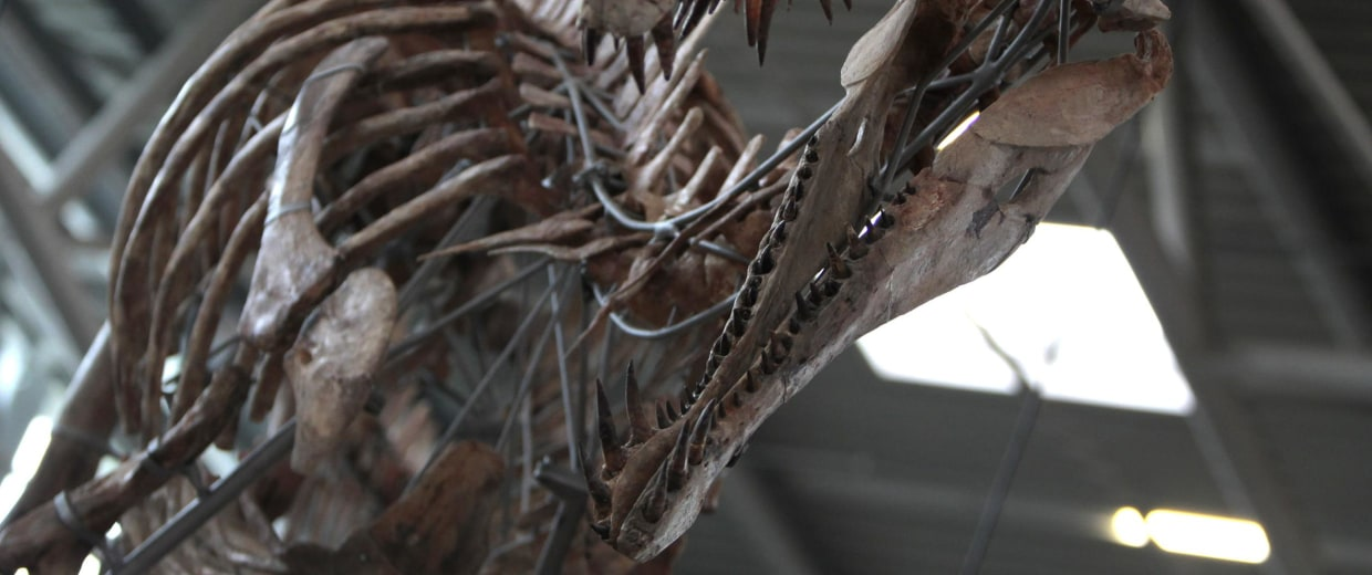 A 100 million year-old skeleton of spinosaurus dinosaur is pictured during annual Munich Show trade fair in Munich