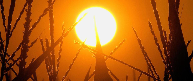 Image: Sun over a corn field in Pleasant Plains, Ill.