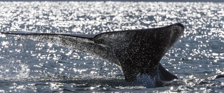 Image: A grey whale dives into the Ojo de Liebre Lagoon