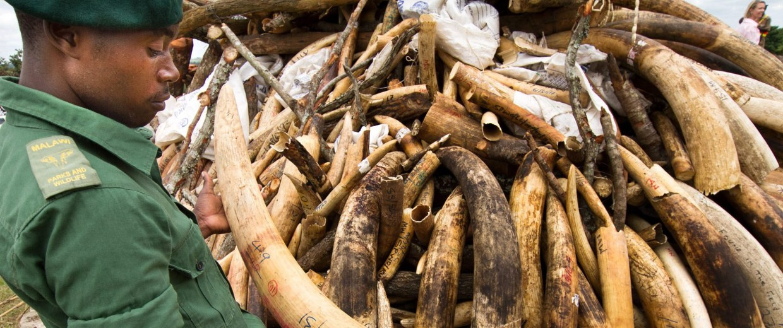 Image: Malawi poached ivory