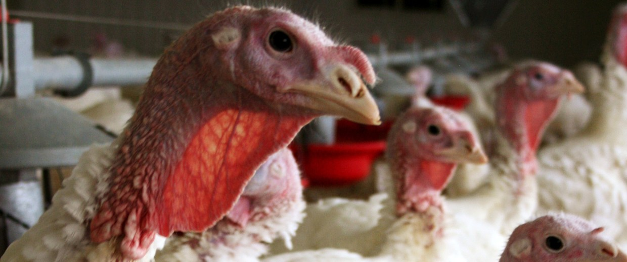 In this 2012 photo provided by Bethany Hahn is a flock of turkeys at a Minnesota poultry farm.