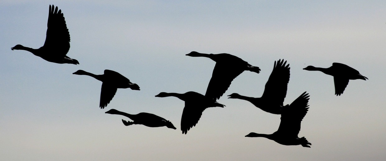 Image: Geese flying in formation