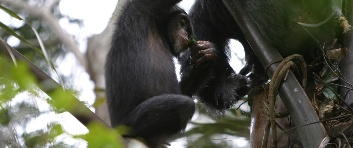 Image: Chimp sipping wine