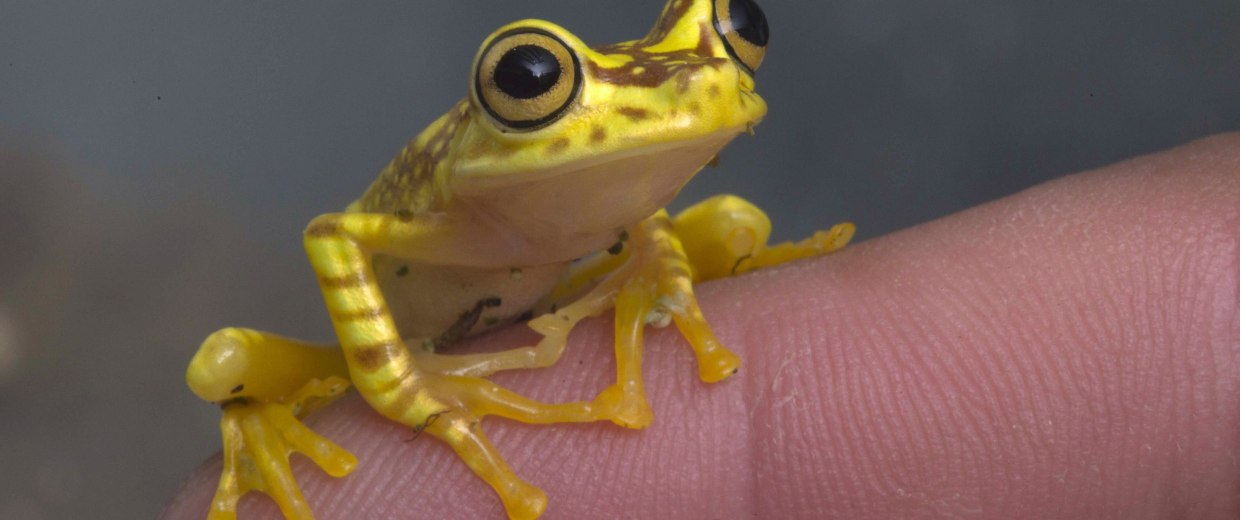Image: A Hypsiboas picturatus frog is pictured at the Jambatu Center for Research and Conservation of Amphibians in Quito