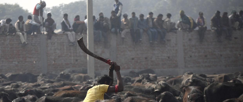 Image: A man takes part in a mass sacrifice of the buffalos near Gadimai Temple at Bara District
