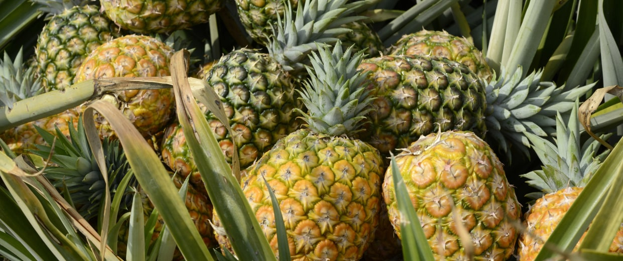 Image: Pineapples lay in the middle of a large plantation