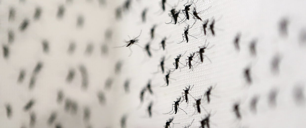 Image: Aedes aegypti mosquitoes are seen inside Oxitec laboratory in Campinas, Brazil