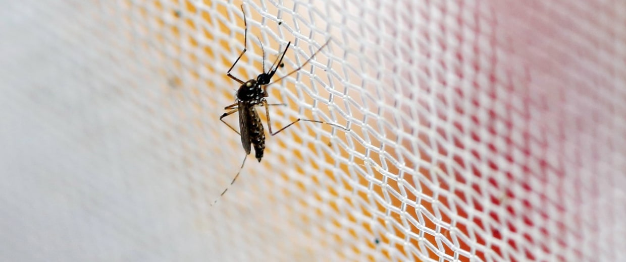 Image: An aedes aegypti mosquitoes is seen in The Gorgas Memorial institute for Health Studies laboratory as they conduct a research on preventing the spread of the Zika virus and other mosquito-borne diseases in Panama City