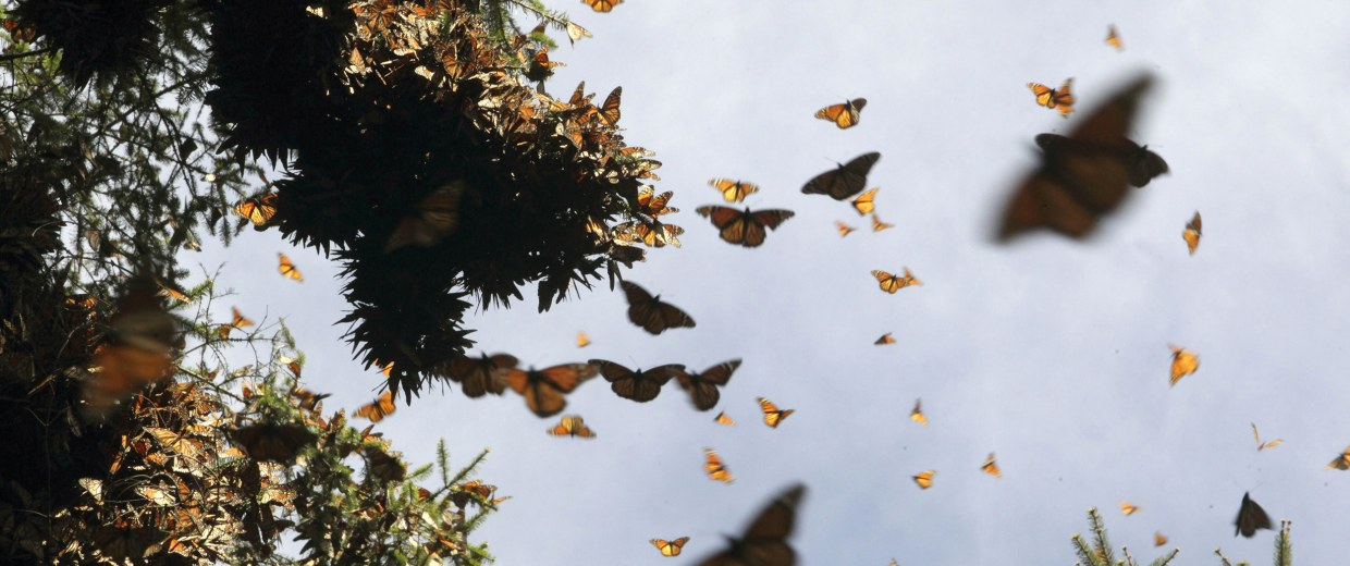 Image: Hundreds of Monarch butterflies fly at the Pedro Herrada butterfly sanctuary, on a mountain in the Mexican state of Michoacan