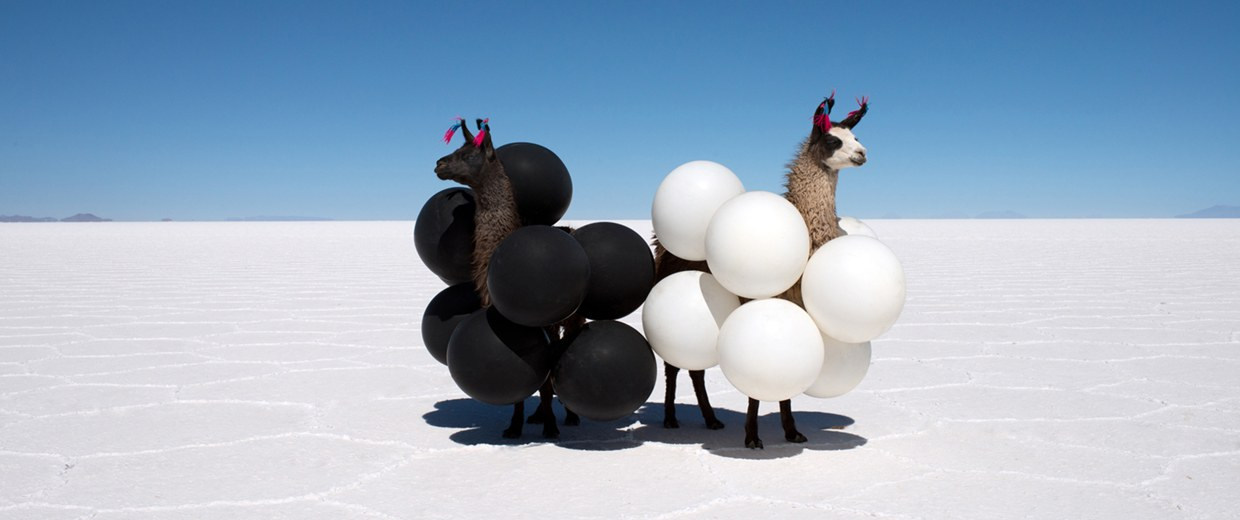 Image: A pair of llamas wear black and white balloons in the salt flats of Bolivia