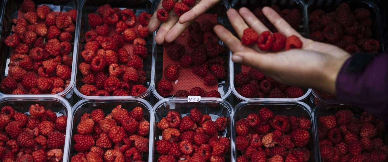 Image: Bulgarian fruit picker Elena Hoola sorts freshly picked raspberries