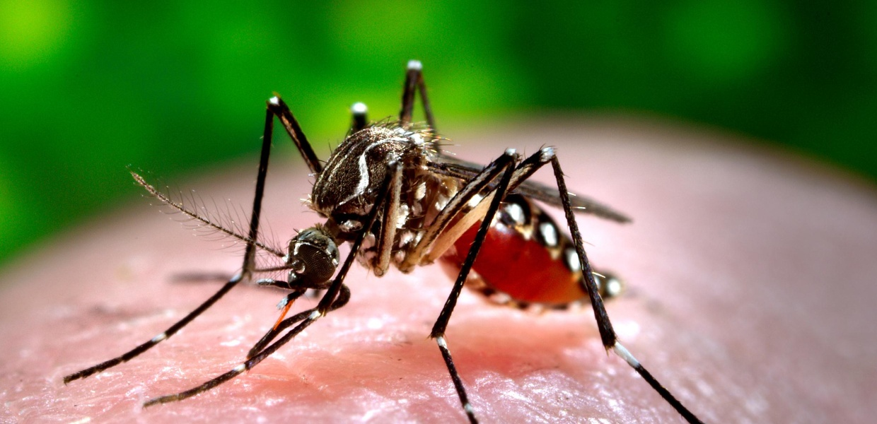 Image: A female Aedes aegypti mosquito acquiring a blood meal from a human host at the Centers for Disease Control in Atlanta, Ga.